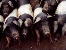 Cuidados tomados na criação dos animais tem consequencias profundas na qualidade da carne, segundo estudo da UEL.
